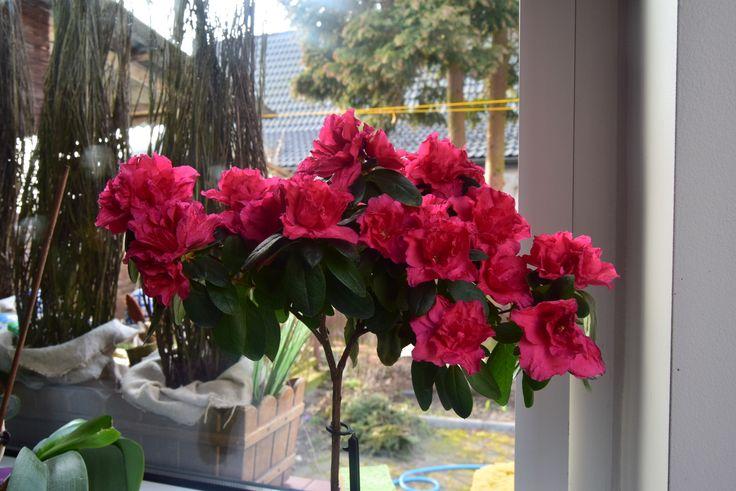 Azalia doniczkowa na Hydroboxie. #hydrobox #hydroboxpl #kwiaty #flowers #flower #dom #inspiracje #flowerpot #diy #ideas #dekoracje