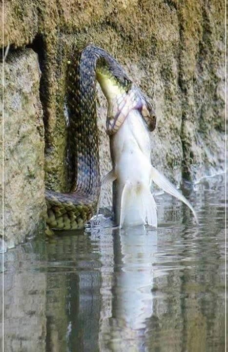 Catching a big fish for lunch!
