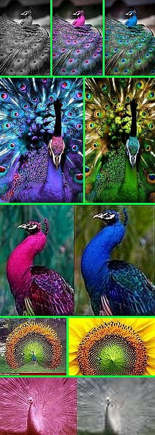 Fake - Several Fake Peacocks - The original images are on the right of each set.