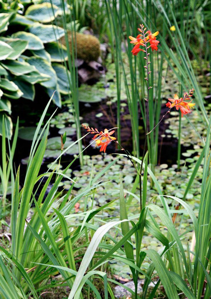 Daglilje, iris og strå trives alle ved dammen. I bakgrunnen står breibladlilje (hosta) med sine frodige blader. Vannliljer er hentet fra en innsjø i nærheten.