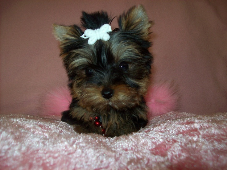Teacup Dogs For Sale In Knoxville Tn