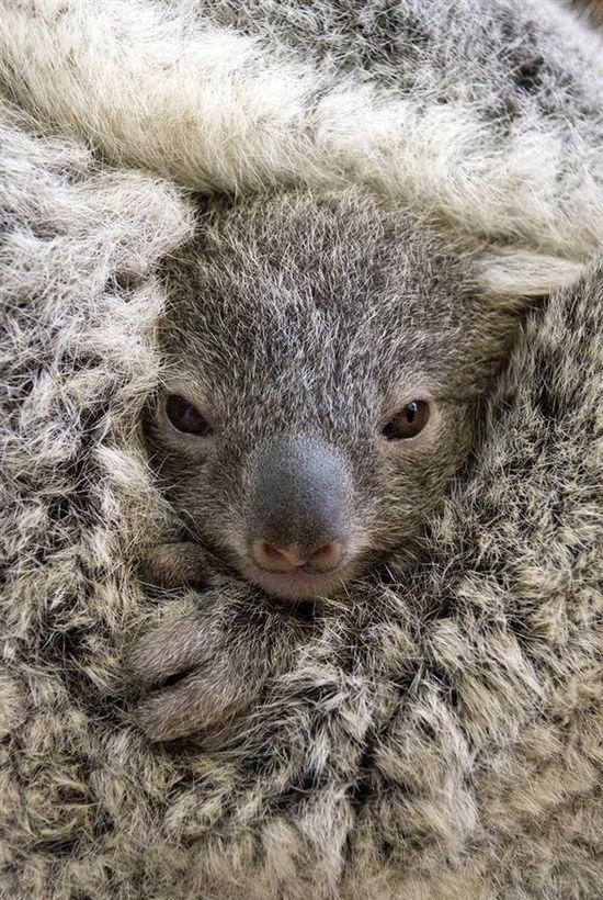 ^Baby Koala share moments