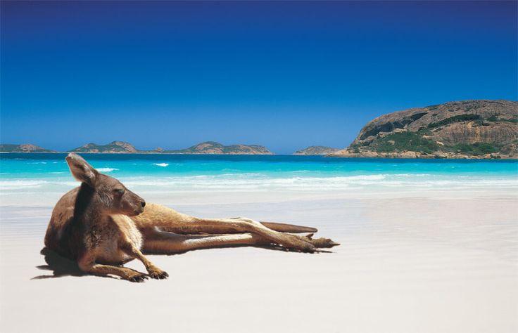 kangourou plage australie