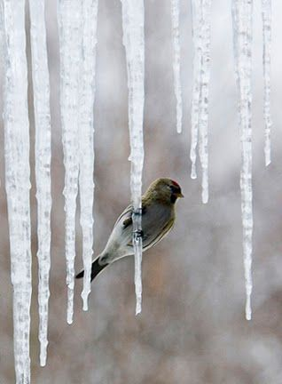 For real, this bird is perched on an icicle?