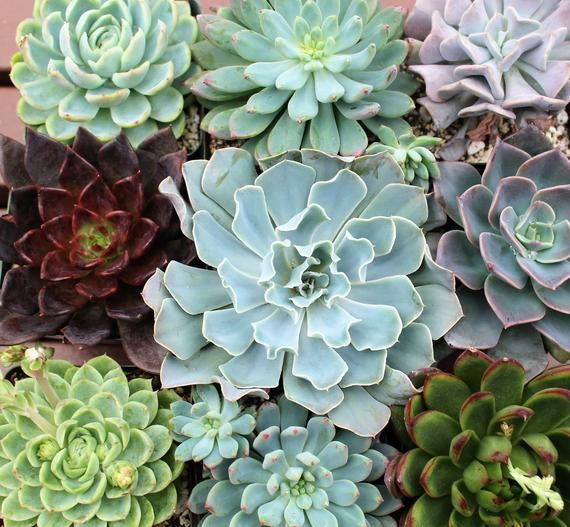 Six Pack Echeveria Rosettes Succulent Plants 4 Inch Pots Value Pack Succulents Plants Planting Succulents