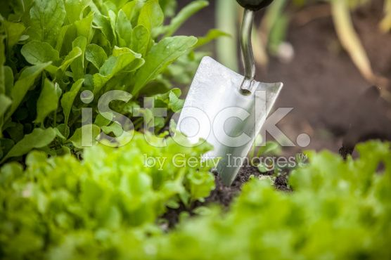 $13 (1 Credit) photo of metal hand shovel and lettuce bed royalty-free stock photo