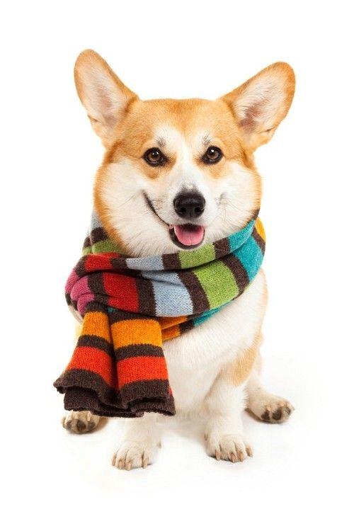 Corgi-dog cute but like the idea of the stripes in the scarf!