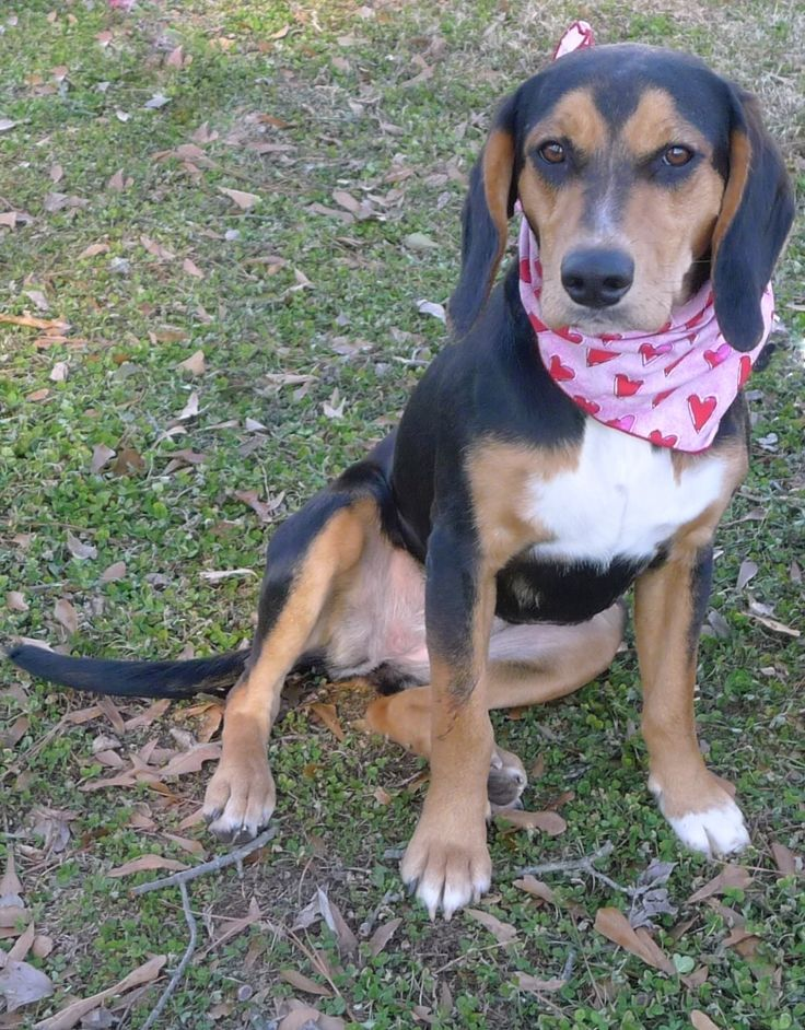 Charlene is an adoptable beagle searching for a forever family near Helena, AL. Use Petfinder to find adoptable pets in your area.