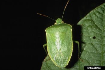 Green Stink Bug Emerging as Primary Pest   freshare.net
