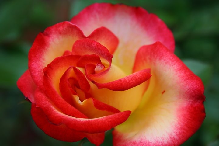 17 Best Images About Roses On Pinterest Black Dragon