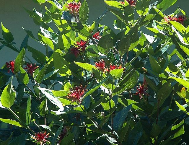calycanthus occidentalis    bc native