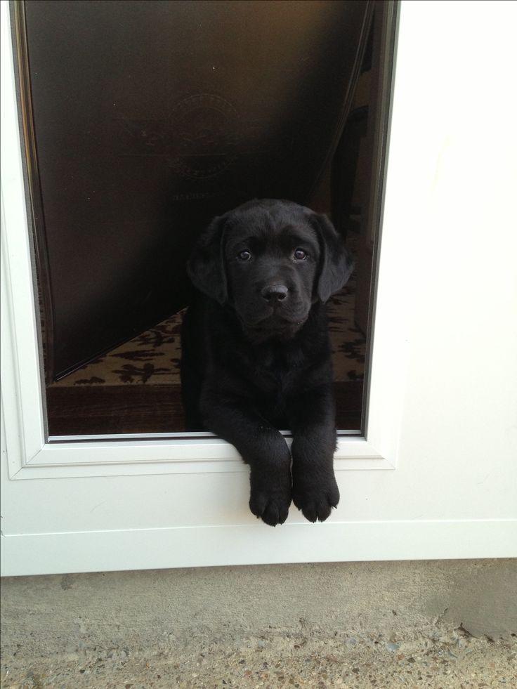 Black lab puppy ☺