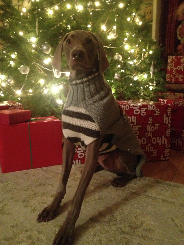 Holiday Weim | Weimaraners | Pinterest | Jumpers and Holiday