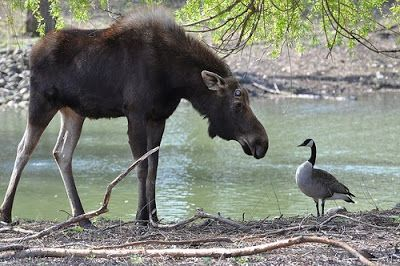 A moose and a goose - doesn't have to be of the four legged variety to be truly Canadian!