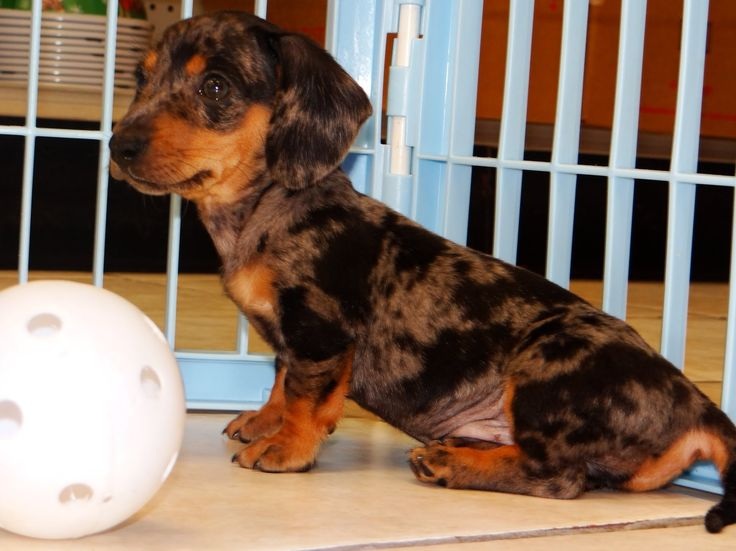 Miniature Dachshund Rescue Dogs