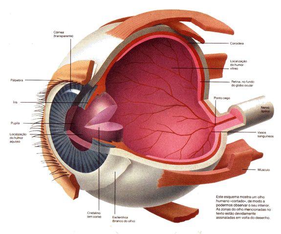 Curso de Medicina Veterinária: ÓRGÃOS DOS SENTIDOS - VISÃO