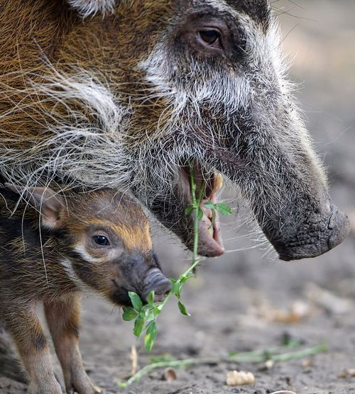 Lovely Red river hog mother Dagamba stands next to her baby Tonka on Sept at the Zoologischer Garten zoo in Berlin Tonka was born on Sept