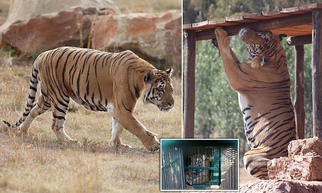 A new lease of life: Lonely tiger taken from the world's worst zoo enjoys his new freedom at a South African enclosure 1,000 times the size of the 'hellhole' Gaza cage where he lived among the bleached bones of dead animals