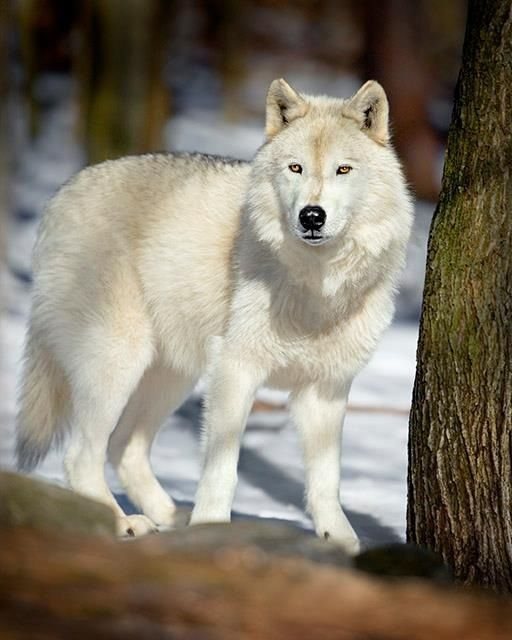 White wolf with gray tips