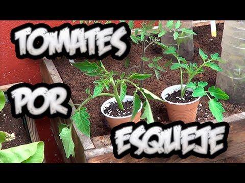Como Tener Una Planta De Tomate en 15 Días Por Esqueje FÁCIL!!!    La Huertina De Toni - YouTube