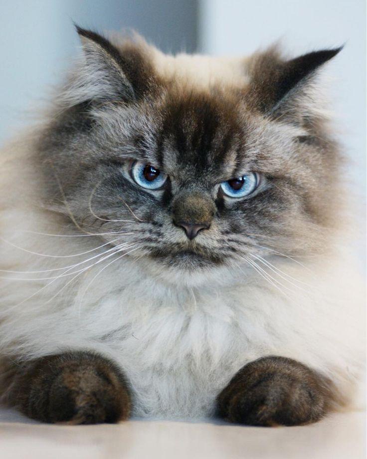Meet Merlin the Ragdoll cat, the grumpiest feline you'll ever see | Metro News
