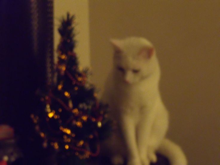 Christmas kitten - 2012