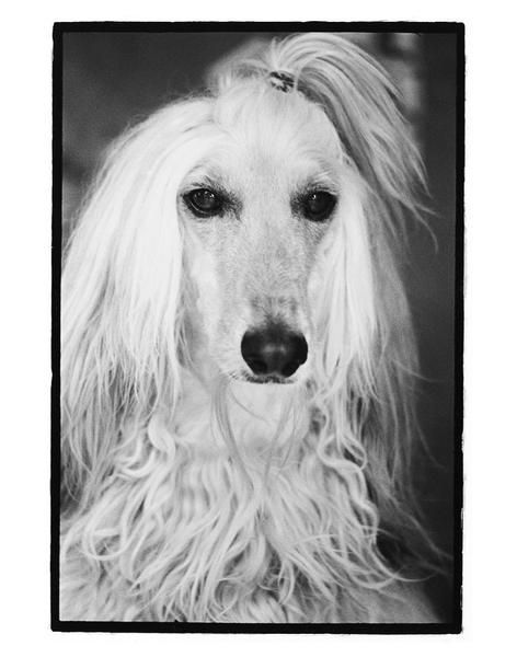 NICOLAS-CAGE -Was a disqualified show dog after he bit one of the judges. The woman was going to euthanize him when trainer changed her mind. I adopted him from the trainer. I called him Nicolas Cage because his hair reminded me of Cage's hairdo in the movie Valley Girl.