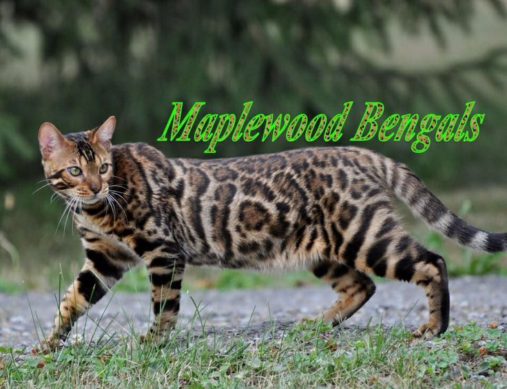 Bengal Cat Names Boy Exotic