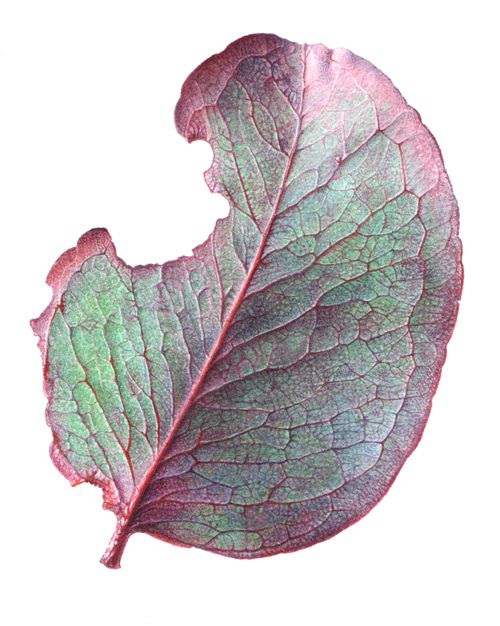 Kate Nolan - E. goniocalyx (Bundy long-leaf box) - juvenile leaf. 2016