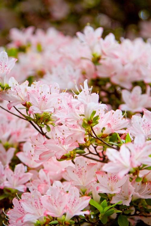 17 best images about arbustos con flores on pinterest for Arbustos con flores