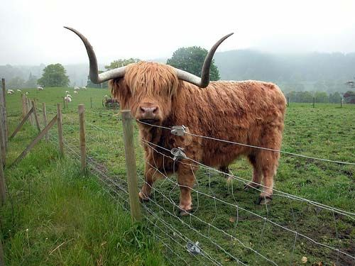 The Scottish Highlands ..We had a bull like this on mom and dad's farm named Angus.