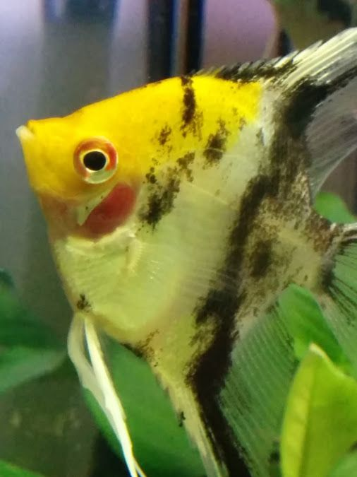 331 best images about fish freshwater angelfish on pinterest for Best community fish