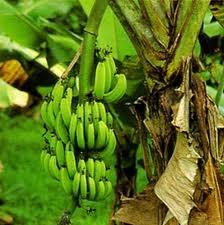 Google Image Result for http://www.lolastreasurebeach.com/storage/Jamaican_Bananas.jpg