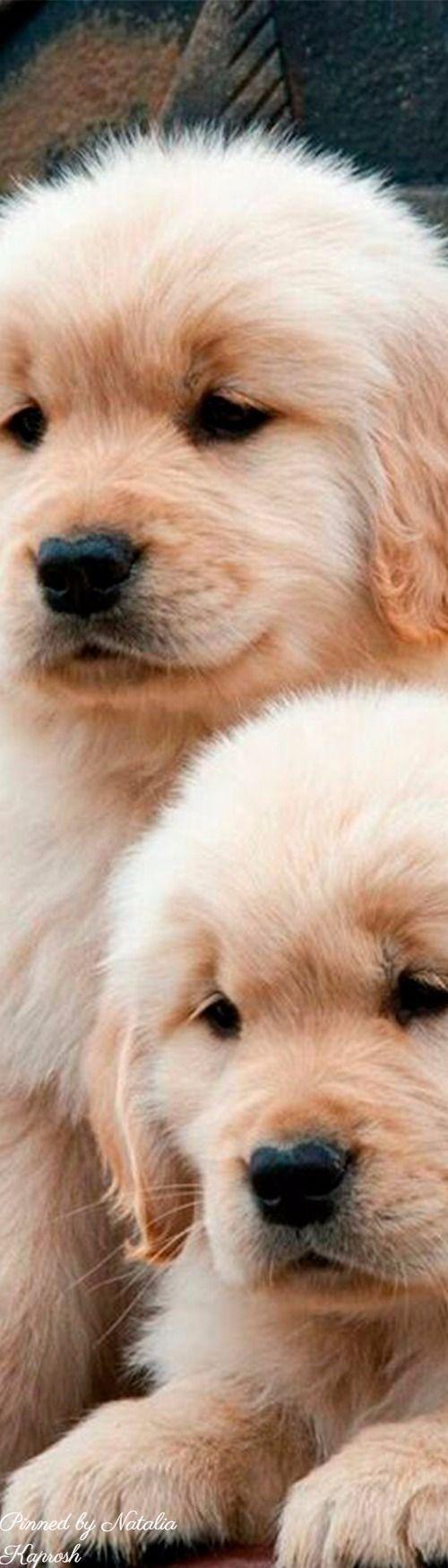 Golden Retriever Puppy
