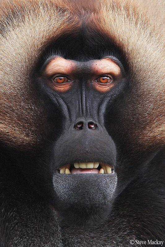 #Animals. Gelada baboon