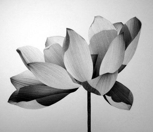 Jonathan Delafield Cook  Lotus III, 2009  Charcoal on paper  71 x 50 cm