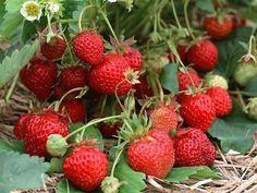 Удобрение клубники народным методом, даёт  неплохую возможность вырастить хороший урожай ягоды, без применения  химических удобрений, у которых есть один главный недостаток, свойство  уничтожать в по…