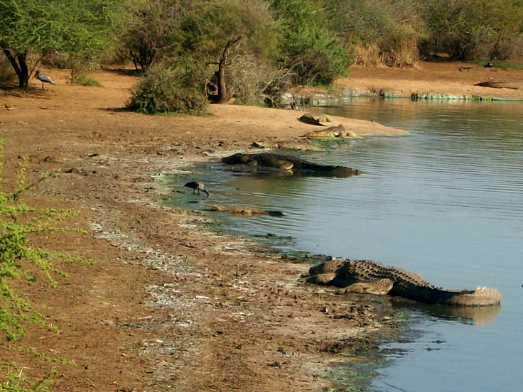 Alligators resting on the bank.