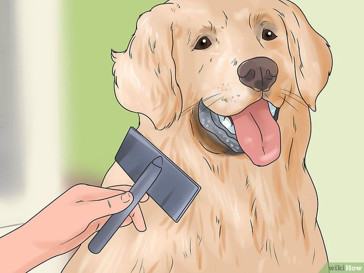 How to Groom a Golden Retriever: 14 Steps (with Pictures)