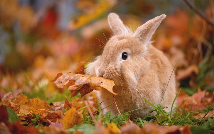 Download wallpapers brown rabbit, myole animals, autumn, dry leaf, pets
