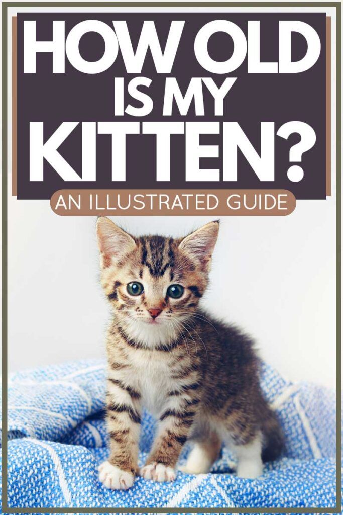 How Old Is My Kitten An Illustrated Guide Article By Thecatsite Com Thecatsite Cat Cats Kitten Kittens Catsandkitten In 2020 Cat Training Kitten Care Kitten