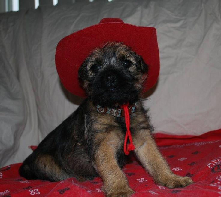 Border Terriers Border Terrier Puppies Border Terrier Puppies For Sale Border Terrier Dogs For Sale Border Terrier Puppies Montana Border Terrier Puppies for Sale