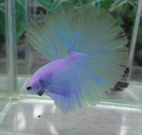 This Has To Be One Of The Most Beautiful Betta Fish I Have