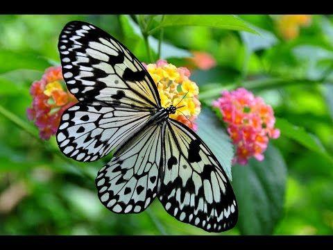 What do butterflies eat?  https://www.youtube.com/watch?v=OD43wDmIut0 #whatdobutterflieseat #butterflyfacts #butterflies