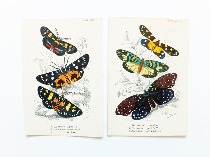 Two Pictures of Moths, Antique Moths Picture, Agarista agricola, Episteme, Vintage Moths, lepidoptera, nature, spring, insects by PeonyandThistlePaper on Etsy https://www.etsy.com/uk/listing/278194750/two-pictures-of-moths-antique-moths