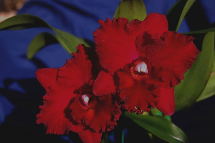 My Best Red Cattleya - Orchid Board - Most Complete Orchid ...