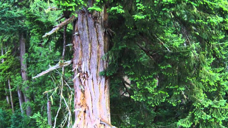 The Tallest Douglas Fir Tree in Cathedral Grove
