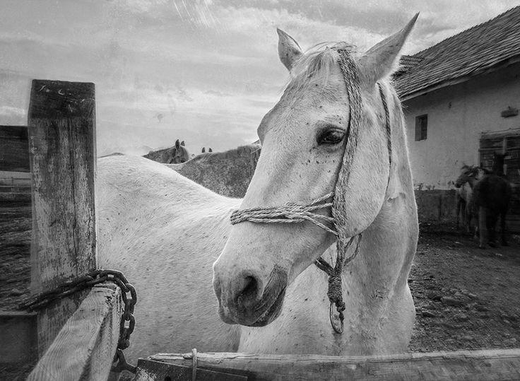 Horse portrait – by Cristina Velina Ion