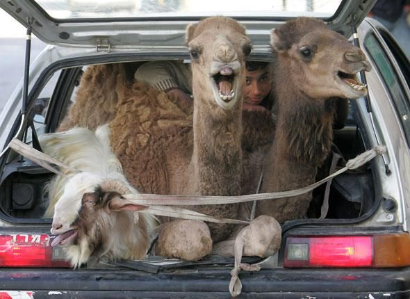 Deux dromadaires et une chèvre sont parqués dans le coffre d'une voiture de boucher à Hebron, Cisjordanie, le 31 janvier 2009.