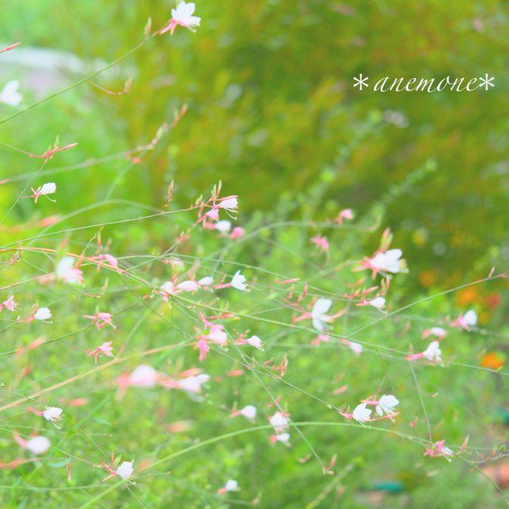 #ガウラ#ハクチョウソウ#白蝶草#butterflygaura#gaura#clockweed#flower